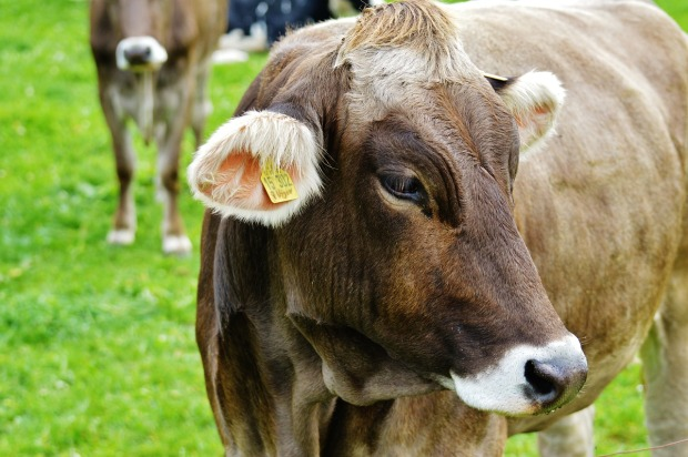 cow-983119_1280